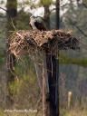 Osprey - Wye River