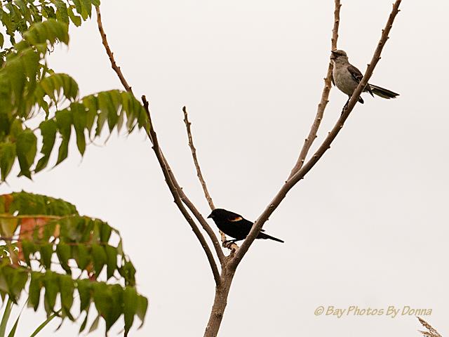 Do You Know The Mockingbird