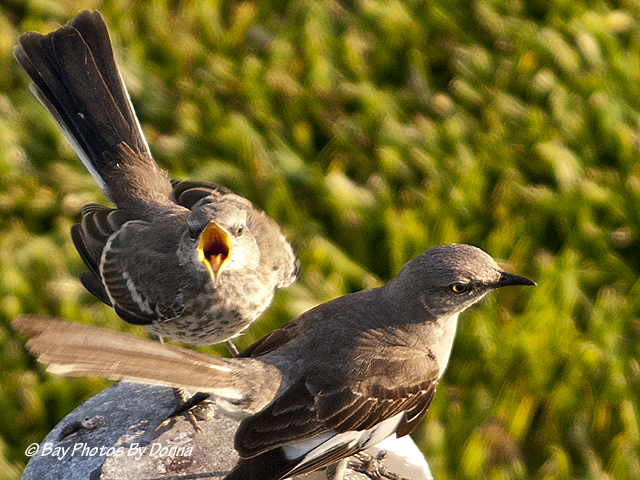 Feeding baby mockingbird - YouTube  Newborn Mockingbird