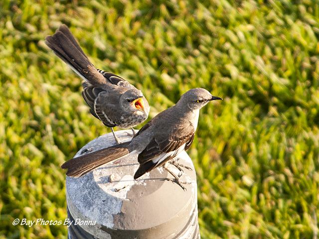 Baby Mockingbird - YouTube  Newborn Mockingbird