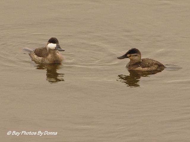 Male and Female Ruddy Ducks