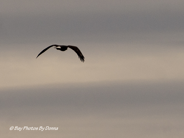 American Bald Eagle, passing on by