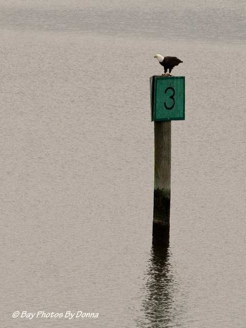 American Bald Eagle on Lipincott's channel marker 3, eating a fish