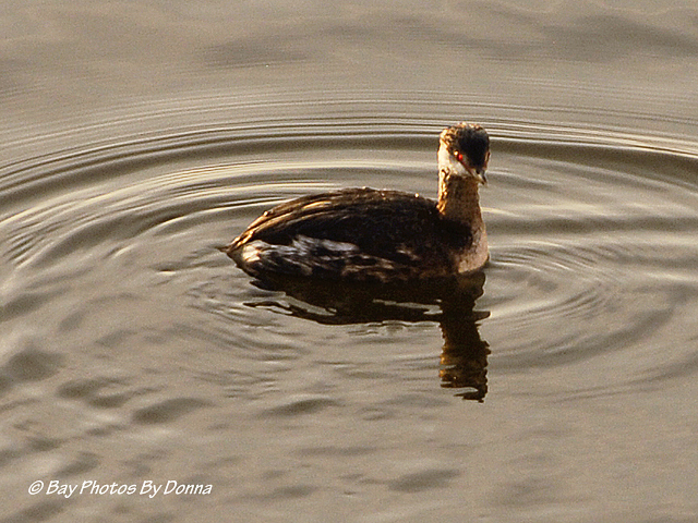 Horned Grebe Female