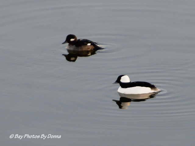 Male & Female Buffleheads