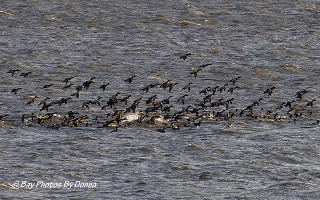 Canvasbacks taking flight