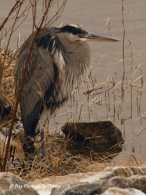 Great Blue Heron - all fluffed up!