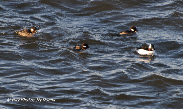 Male Bufflehead with three Femal Buffleheads