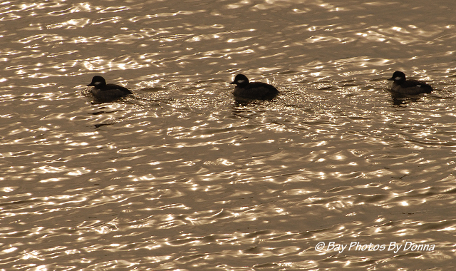 Female Buffleheads