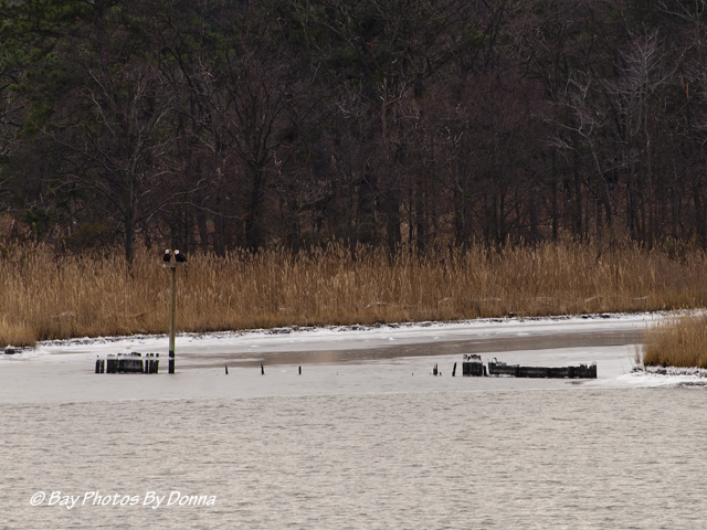 American Bald Eagles on osprey nest platform in Marshy Creek at CBEC