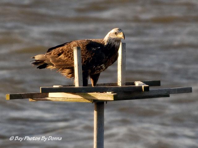 American Bald Eagle - Juvenile