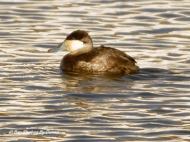 Male Ruddy Duck