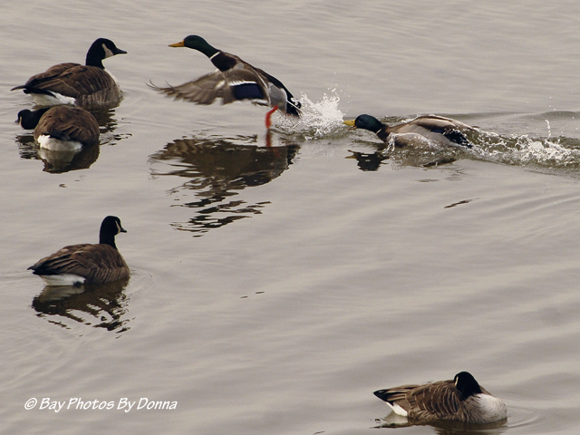 Fighting Male Mallards amongst Canada Geese