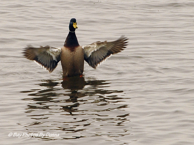 This male Mallard presumes he is the winner!