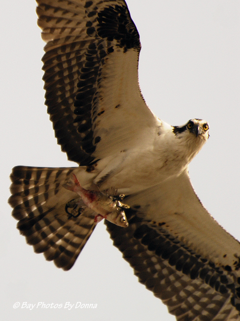 Mr. Osprey checking me out