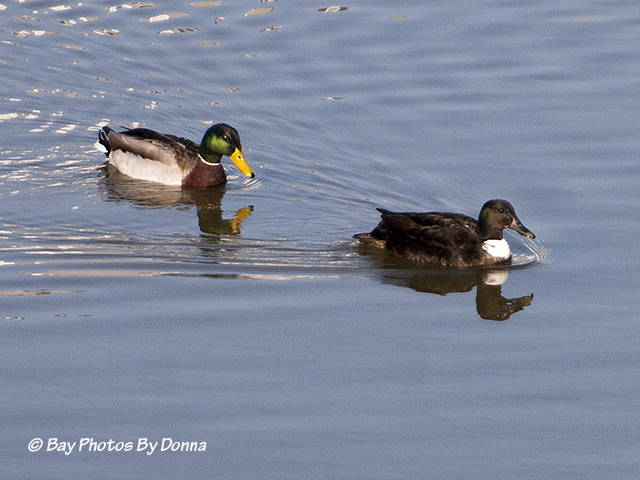 Regular Mallard and Duclair Mallard