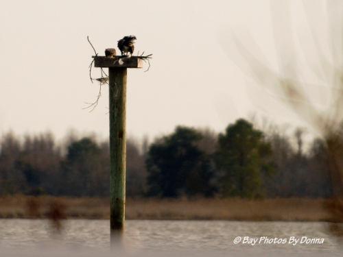 Osprey Pair at Osprey Point along Rt. 18, Grasonville