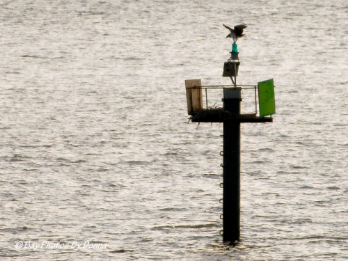 Osprey on Kent Narrows South Entrance Channel Marker