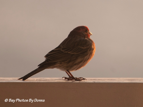 House Finch enjoying the last of the day's rays