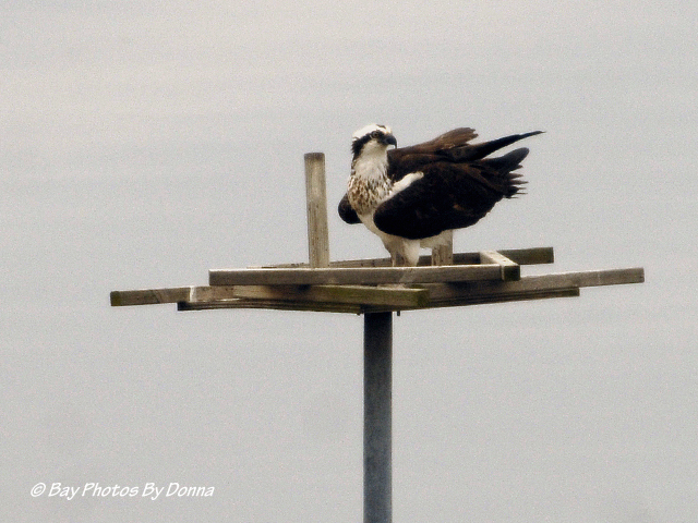 Osprey on OC