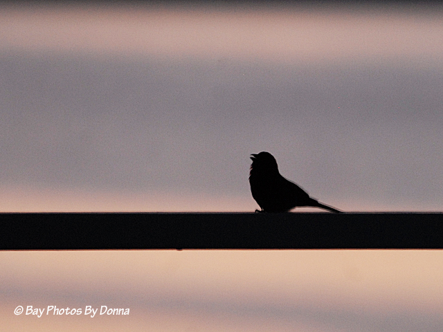 House Finch singing at sunrise