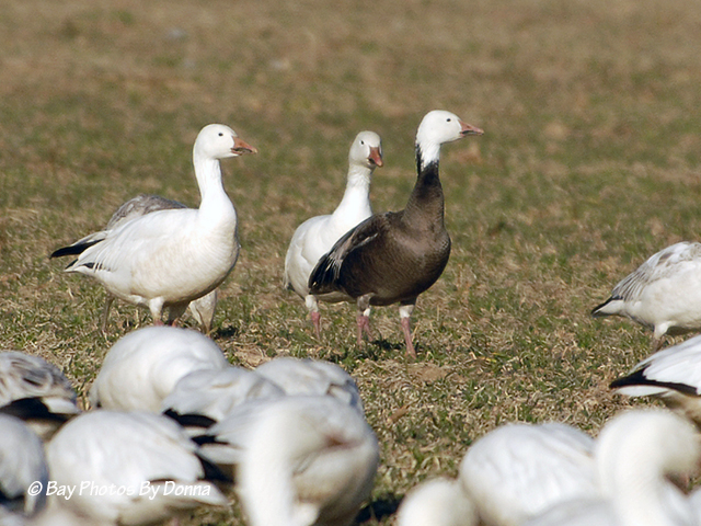 Snow Geese and Blue Goose