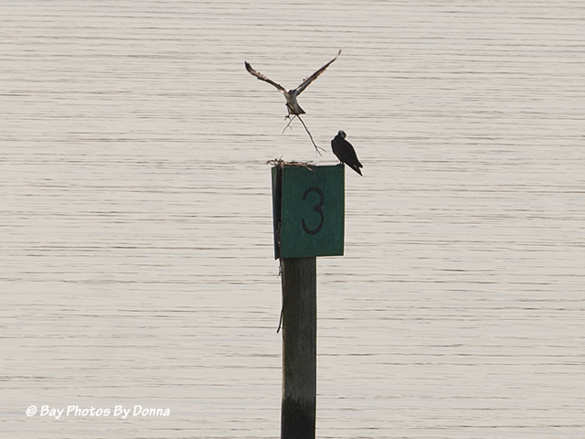 Osprey pair trying to start a nest on Lippincott's Channel Marker No. 3