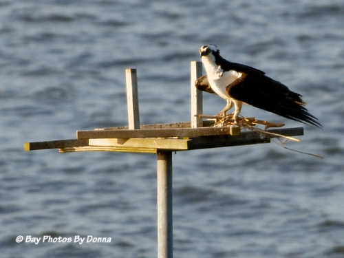 Osprey with nesting material on platform - May 3, 2013