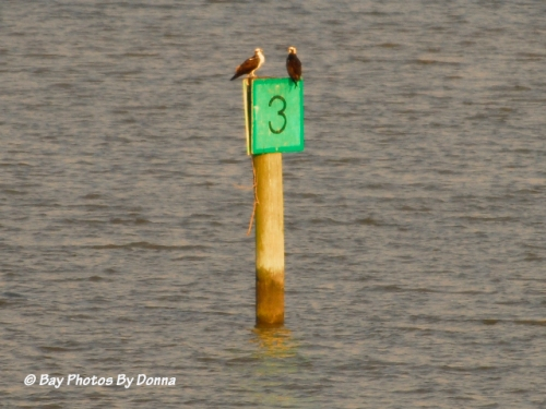 Osprey pair taking a break on channel marker.