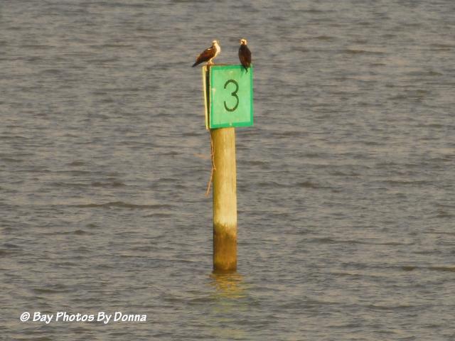 Osprey pair taking a break on channel marker.