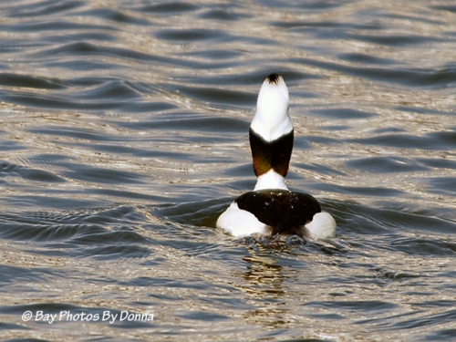 Bufflehead - flat head