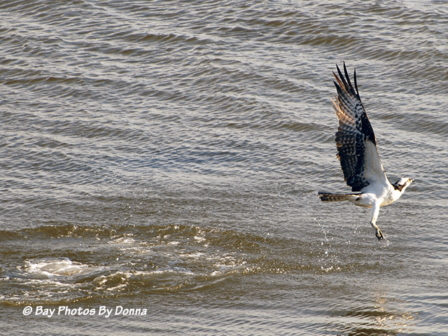 This Osprey wasn't so lucky this time.