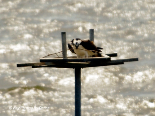 Osprey laying a stick on the platform - April 7, 2013