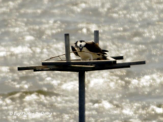 Osprey laying a stick on the platform - April 7, 2013