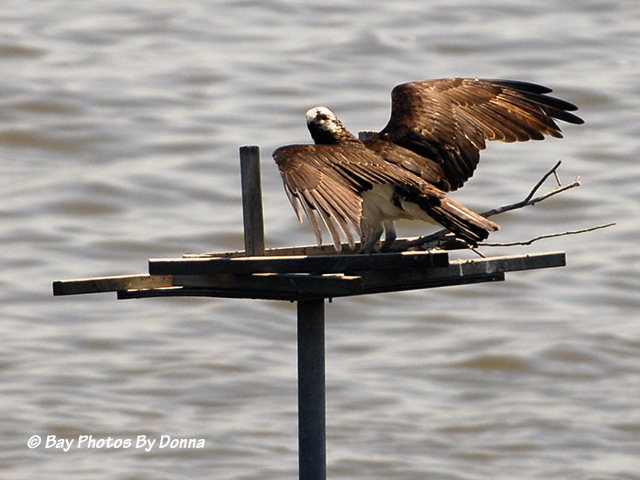 Osprey arriving with stick on the platform - May 8, 2013