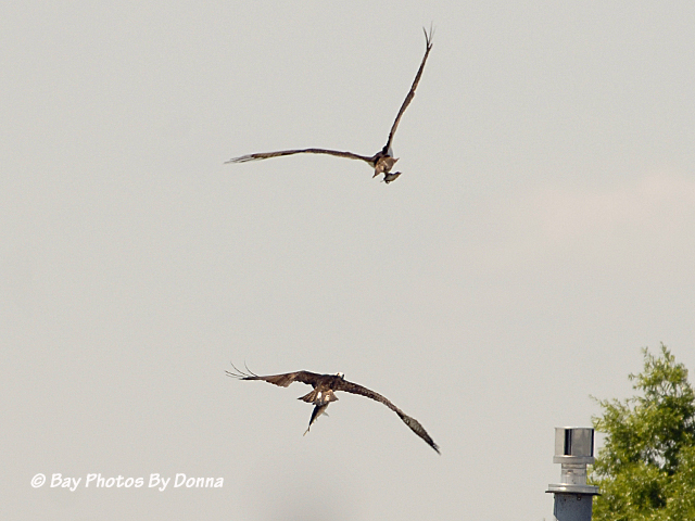Osprey pair that fished together