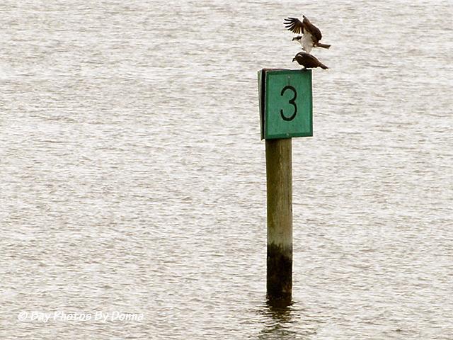 Osprey mating on Lippincott Channel Marker 3
