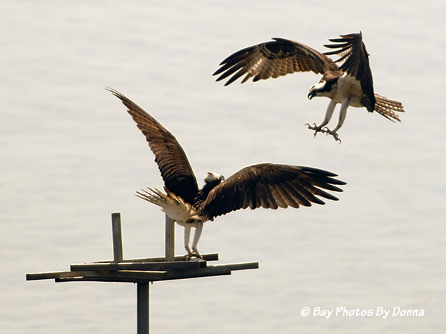 Osprey fighting over platform