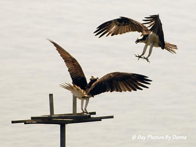 Osprey fighting over platform
