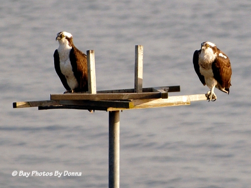 Osprey Mates (male on left, female on right)