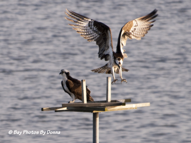 Osprey Mates