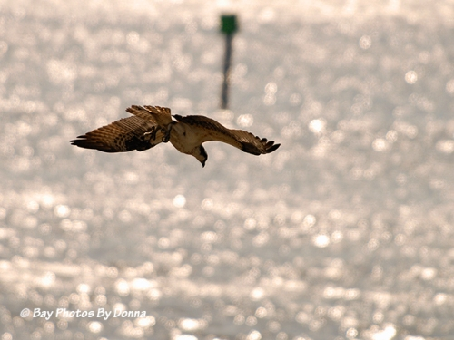 Osprey in dive-mode.