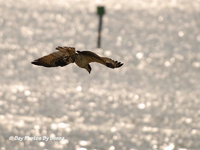 Osprey in dive-mode.