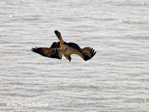 Osprey in dive-mode