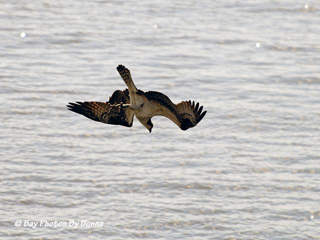 Osprey in dive-mode