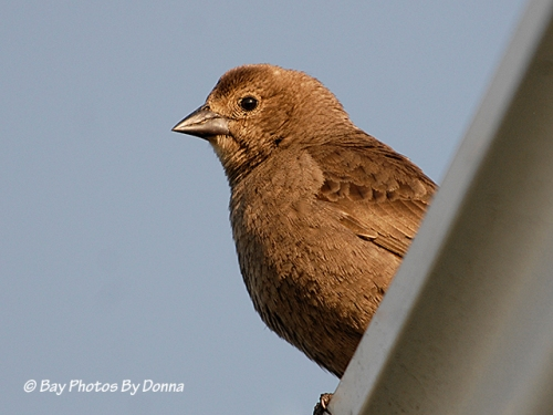 Brown-headed Cowbird or a Finch?