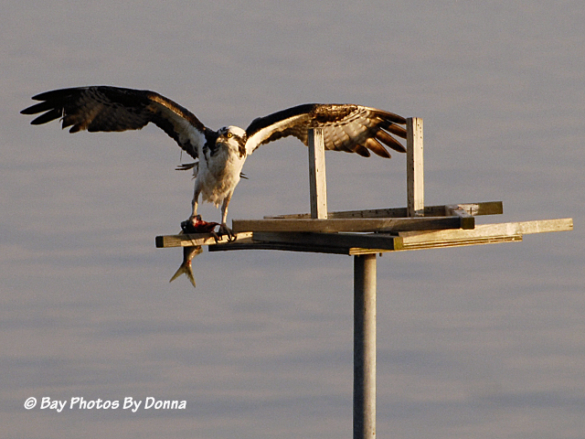 Osprey enjoying a meal