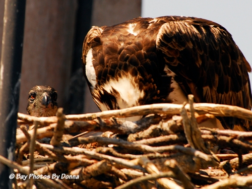 Momma Osprey feeding a chick while the other one gives me a pose.