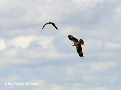 """Our"" Osprey chasing off one of the Osprey that lives on Kent Narrows South Entrance Channel Marker #4"