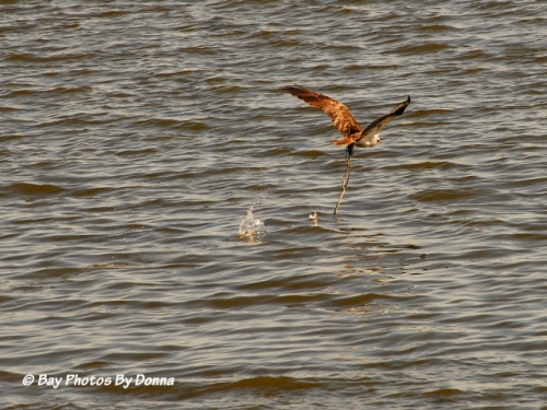 Osprey from KN Channel Marker #4 flying off with a stick from our OC nest platform!